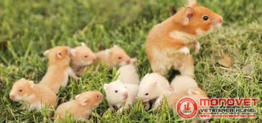 hamsterlarda üreme