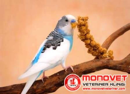 muhabbet kuşu beslemek