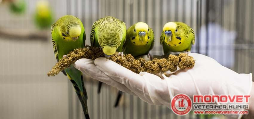 muhabbet kuşunun bakımı