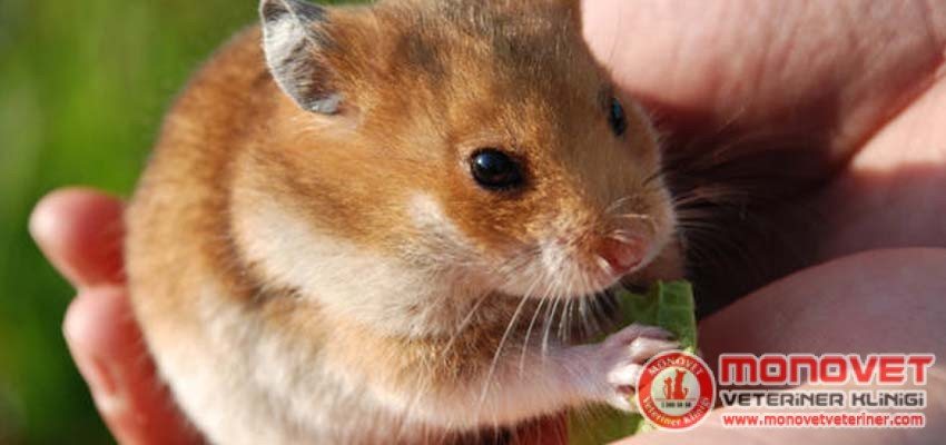 hamster sahiplenmek istiyorum