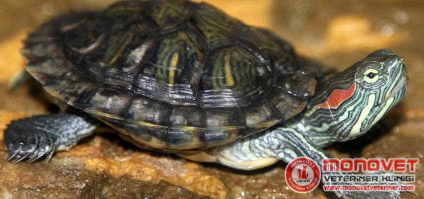 kaplumbağlarda hastalıklar